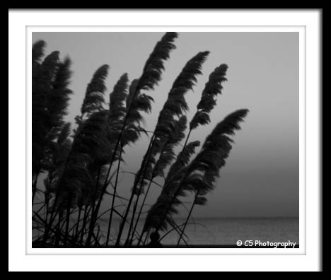 Black and White Photograph of grass during a sunrise on the beach