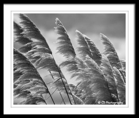 Black & White Photograph of grass blowing in the wind on the beach