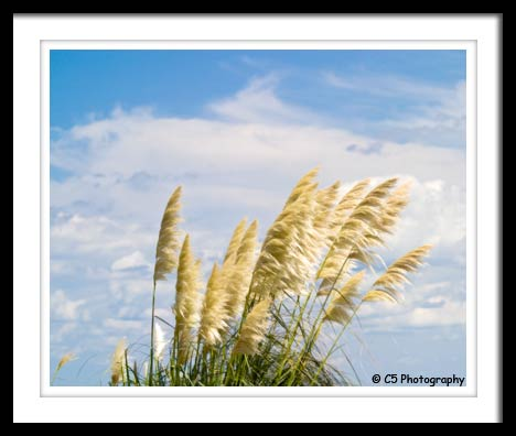 Photograph of grass with a blue sky and clouds background