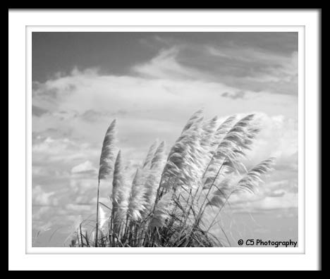 Black and White Photograph of grass with a blue sky background