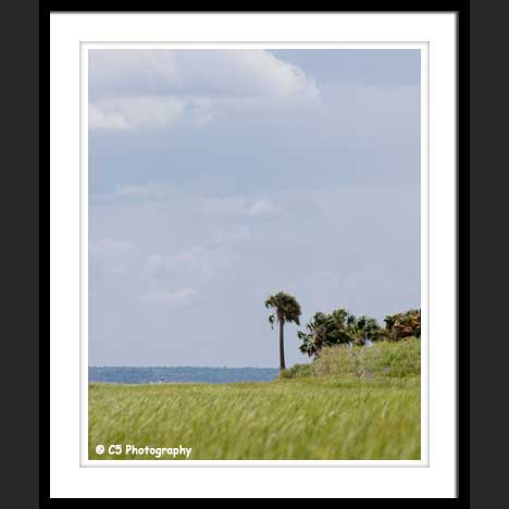 Palm tree on beach of St Marks, Florida