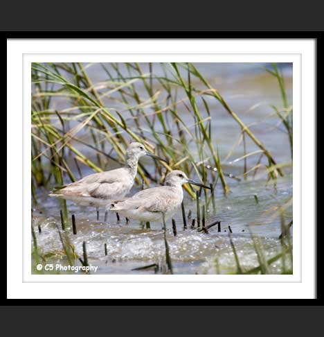 Sandpipers on the shore grass