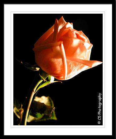 Roses - pink, red, yellow, white, long stem, macro, close-up, image