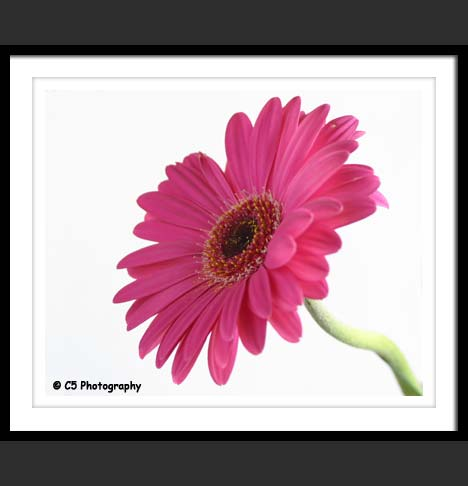 Gerber Daisies, gerbera, colorful, pink, orange, daisy, flower photos