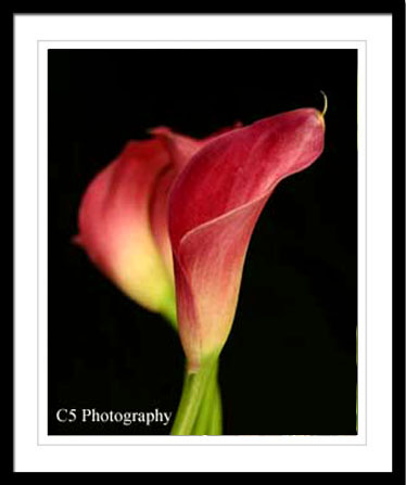 Cala Lillies pink, burgandy, while, elegant photographs, lily,