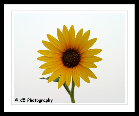 C5 Photography - Sunflowers yellow, wild, unmatted prints