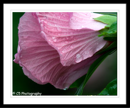 Rose of Sharon, hibiscus plant, pink and white