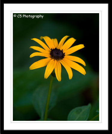 C5 Photography - Black Eyed Susan Flower Gallery of matted prints