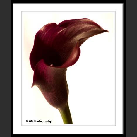 C5 Photography - Burgundy Calla Lilies