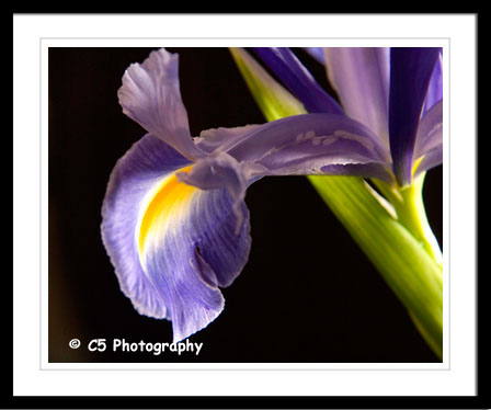 Purple and yellow Iris Photographs by C5 Photography