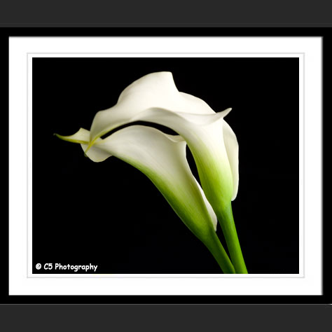 White Cala Lily Photographs by C5 Photography