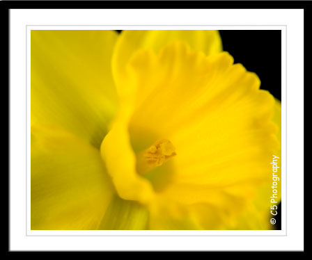 yellow daffodils gallery