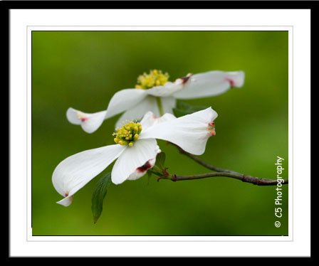 C5 Photography - dogwood blossom Flower