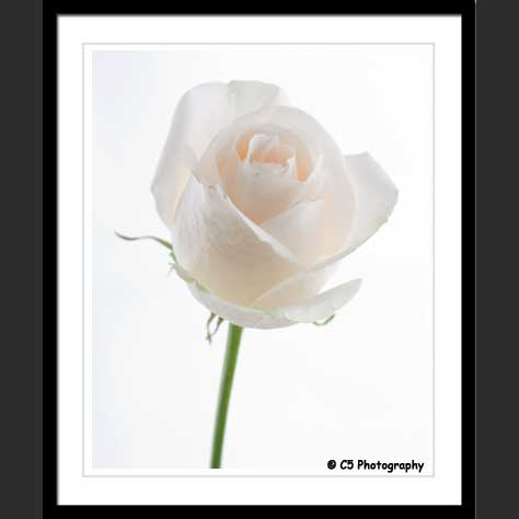 C5 Photography - White Roses Flower Photographs
