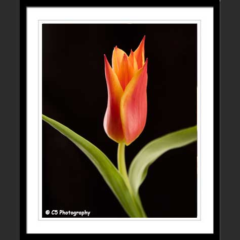 Lily-Flowered Tulip Photographs available unmated