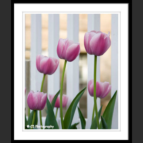 Pink and White Tulip Flower Photographs