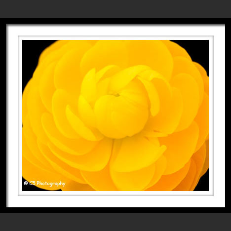 C5 Photography - Ranunculus matted photographs
