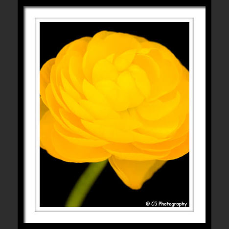 Ranunculus against black background photograph