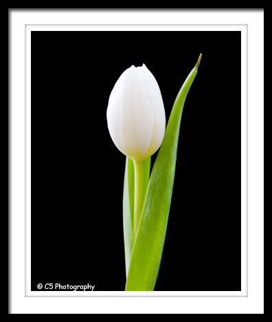 C5 Photography - Pink and White Tulip Flower Photos