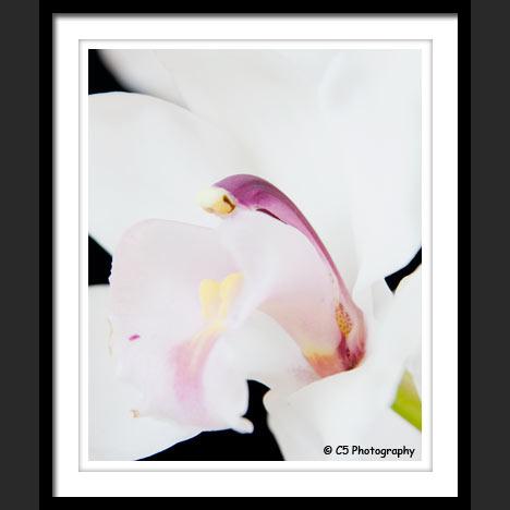 Ranunculus against black background photograph