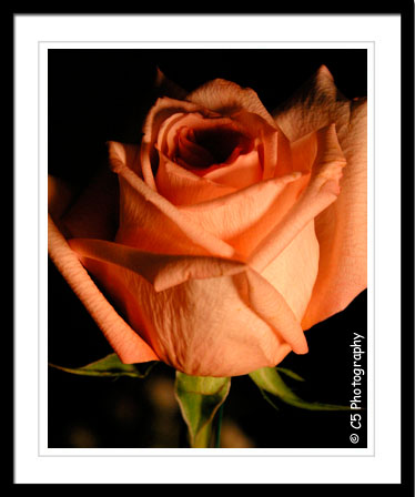 C5 Photography - Pink Rose Flower Photographs