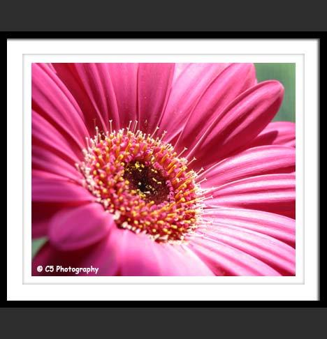 C5 Photography - Pink Gerber Daisies