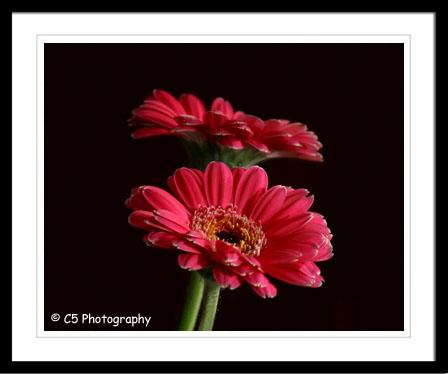 C5 Photography - Pink Mini Gerber Daisies