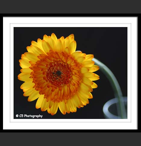 C5 Photography - Daisy Flower 32
