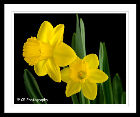 Yellow Daffodils by C5 Photography