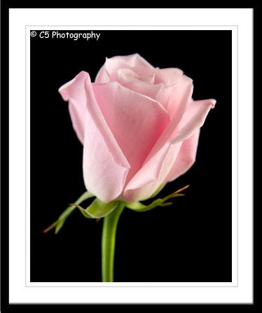 Pink and White Rose Photographs