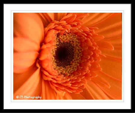C5 Photography - Orange Gerbera Daisy Photographs