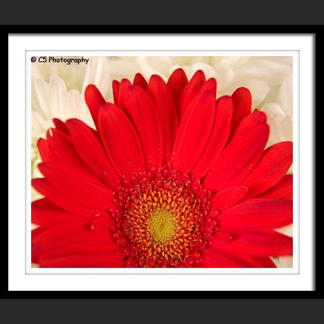C5 Photography - Daisy Flower 62