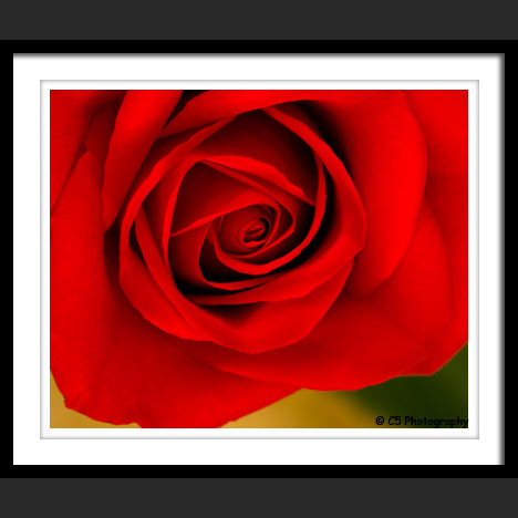 C5 Photography - Red Rose Flower Photographs